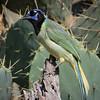 Green jay, Cyanocorax yncas
