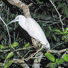 Little Blue Heron, Egretta caerulea  Juvenile
