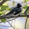 Black-throated blue warbler, Dendroica caerulescens