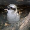 Kookaburra, Daecelo novaeguineae