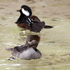 Hooded Merganser, Lophodytes cucullatus, female