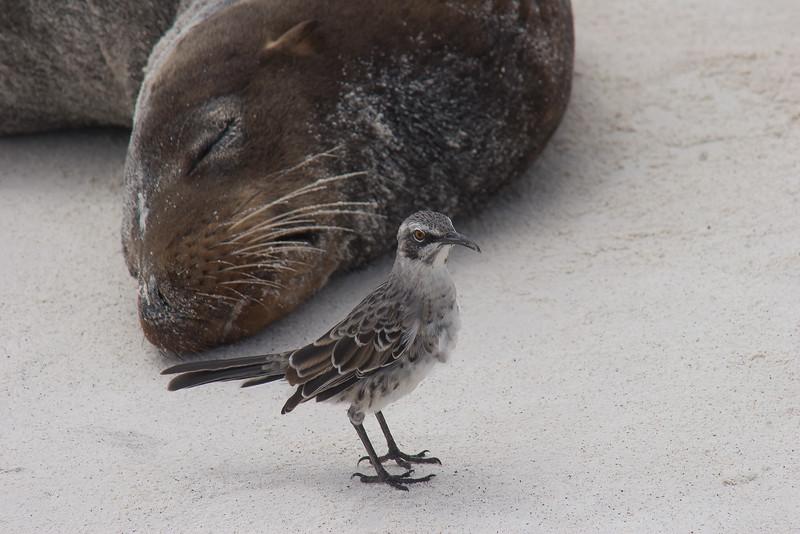 Galapagos mockingbird, Mimus parvulus