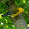 Prothonotary warbler, Protonotaria citrea