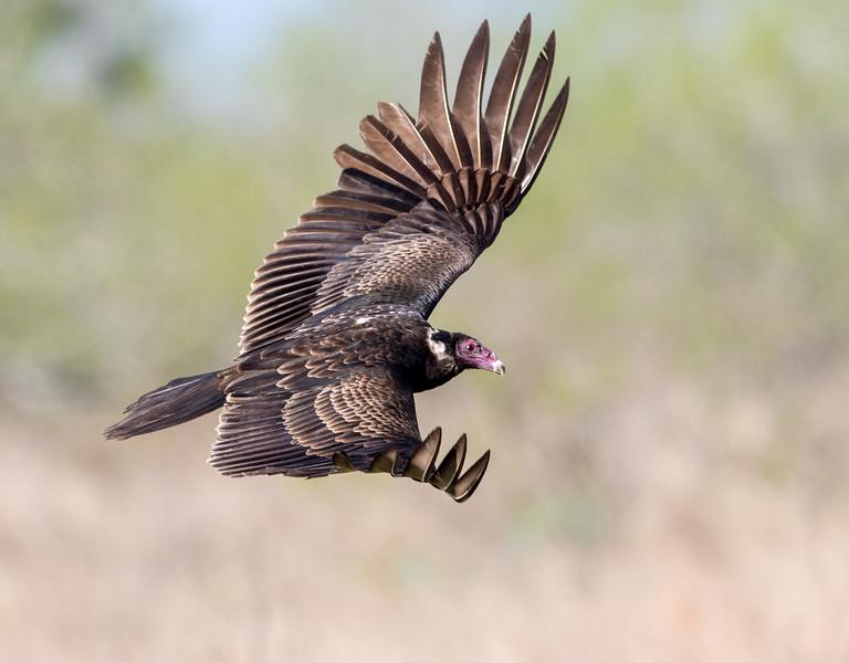 Turkey vulture, Cathartes aura