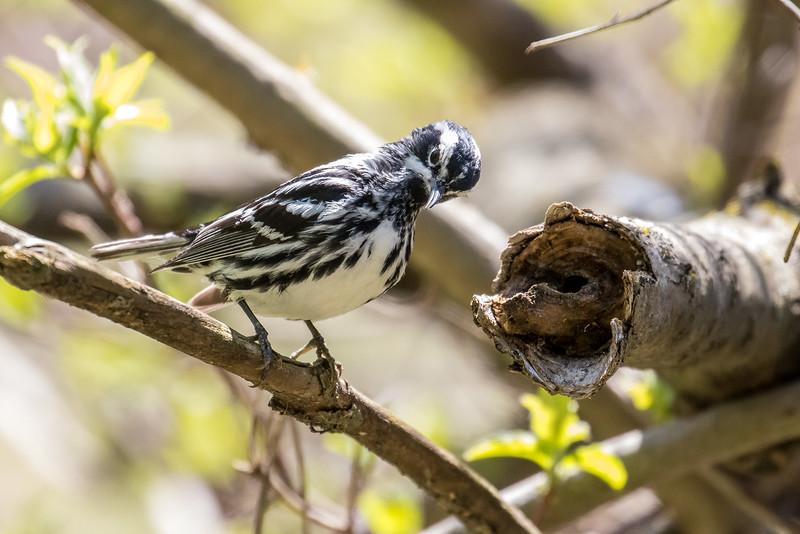 Black-and-white warbler, Mniotilta varia