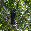 Black Hawk-Eagle, Spizaetus tyrannus