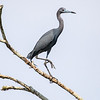Little blue heron, Egretta caerulea
