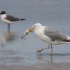 Herring gull, Larus argentatus