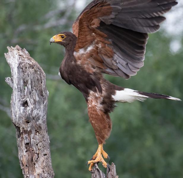 Harris's Hawk, Parabuteo unicinctus