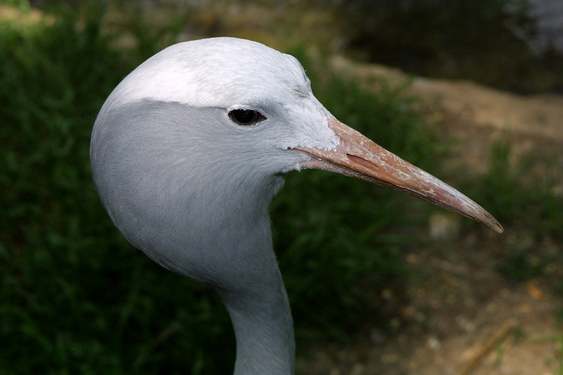 Blue Crane, Anthropoides paradisea
