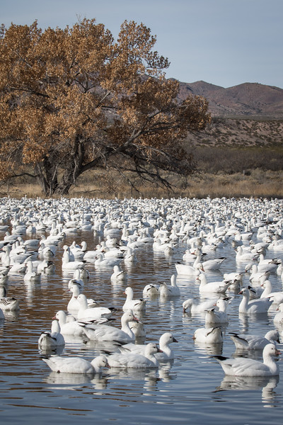Snow goose, Chen caerulescens, and Ross's goose, Chen rossii
