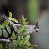 Black-crested titmouse, Baeolophus atricristatus