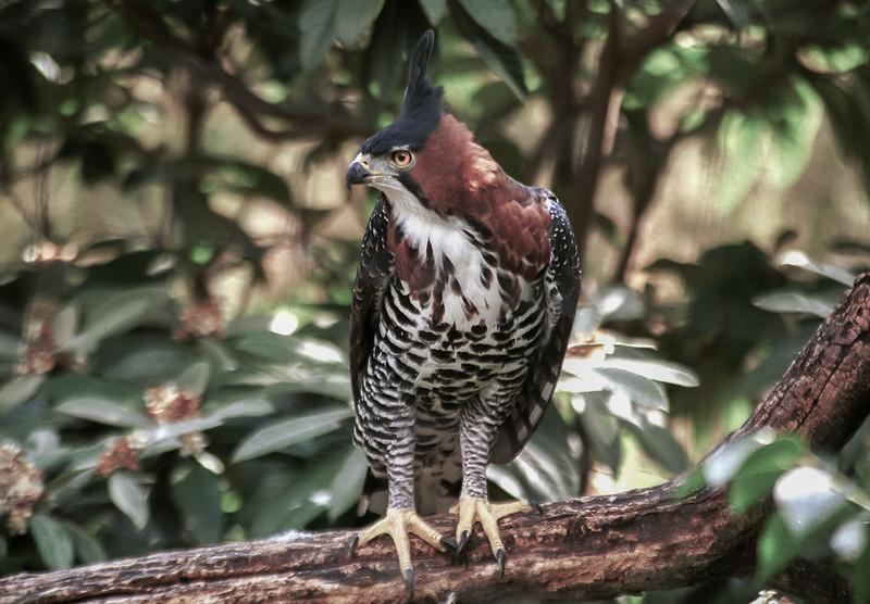 Ornate hawl eagle, Spizaetus ornatus