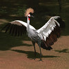 Gray Crowned Crane,  Balearica regulorum