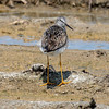 Lesser yellowlegs, Tringa flavipes