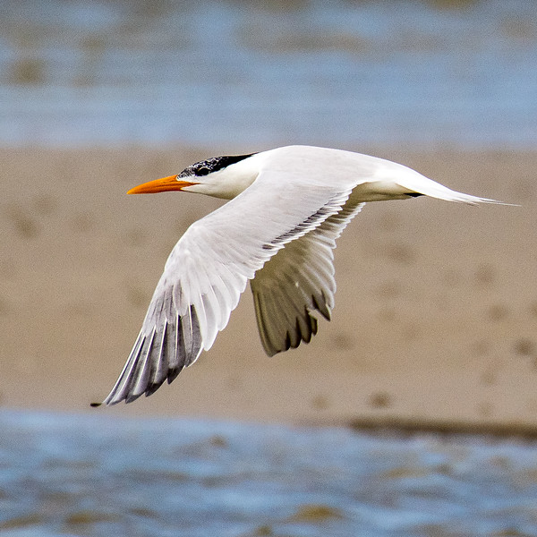 Royal tern, Thalasseus maximus