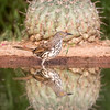 Long-billed thrasher, Toxostoma longirostre, in front of Horse crippler cactus, Echinocactus texensis