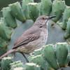 Northern Mockingbird, Mimus polyglotos, juvenile