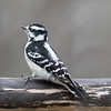 Downy woodpecker, Picoides pubescens,  female