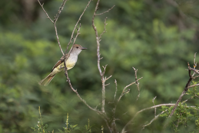 Ash-throated flycatcher, Myiarchus cinerascens