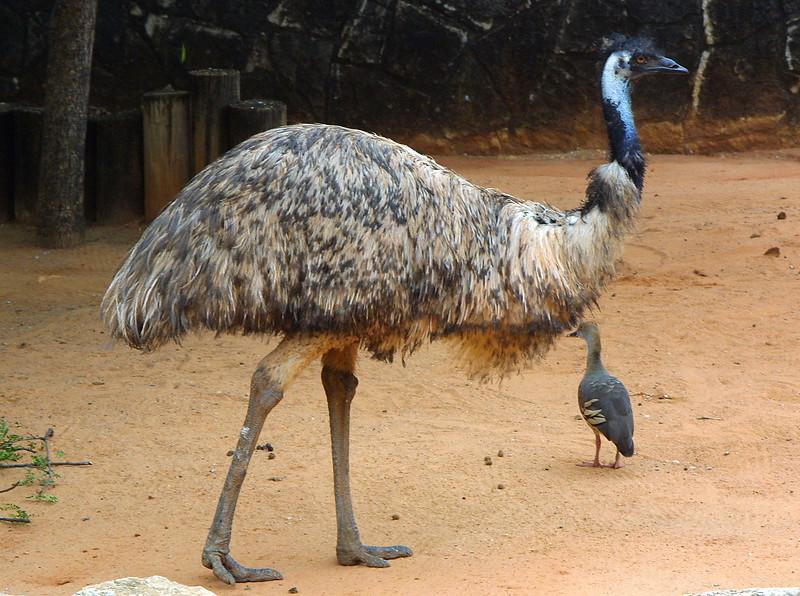 Emu, Dromaius novaehollandiae