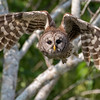 Barred owl, Strix varia