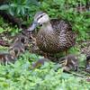 Mottled duck, Anas fulvigula