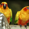 Golden Capped Conures, Aratinga auricapilla