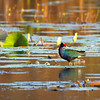 Purple gallinule, Porphyrula martinica