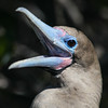 Red-footed Booby, Sula sula websteri