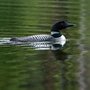 Common Loon, Gavia immer