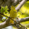 Yellow warbler, Setophaga petechia, female