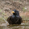 European Starling. Sturnus vulgaris