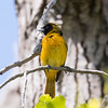 Baltimore oriole, immature