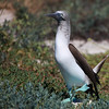 Blue-footed Boobie, Sula nebouxii excisa