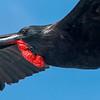 Magnificent Frigatebird, Fregata magnificens