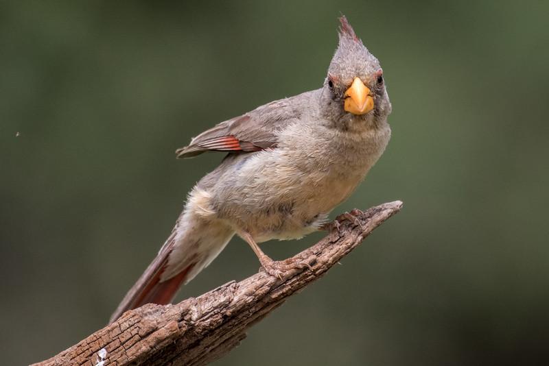 Pyrrhuloxia, Cardinalis sinuatus, female