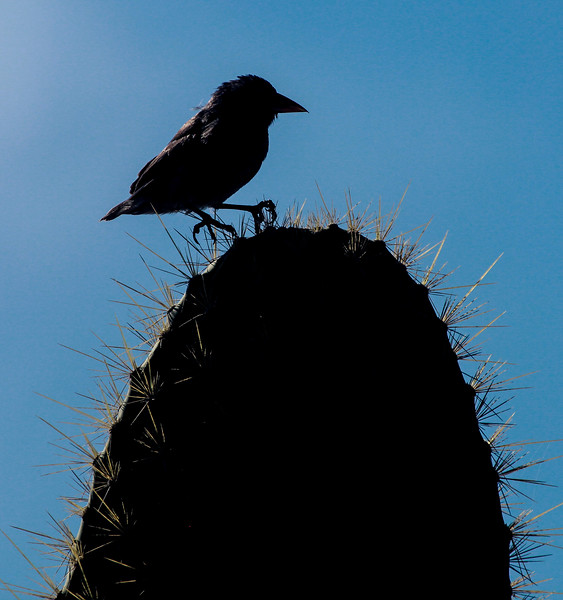 Cactus ground finch, Geospiza scandens