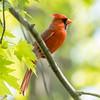 Northern cardinal, Cardinal cardinalis