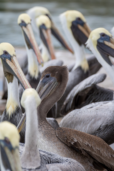 Brown pelican, Pelecanus occidentalis urinator