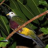Wompoo Fruit Dove, Ptilinopus magnificus