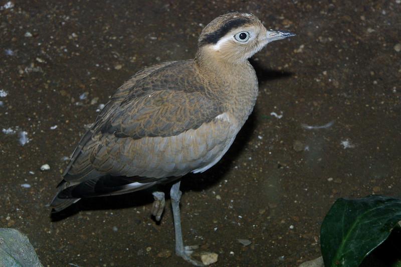 Peruvian thick-knee, Vurhinus superciliaris