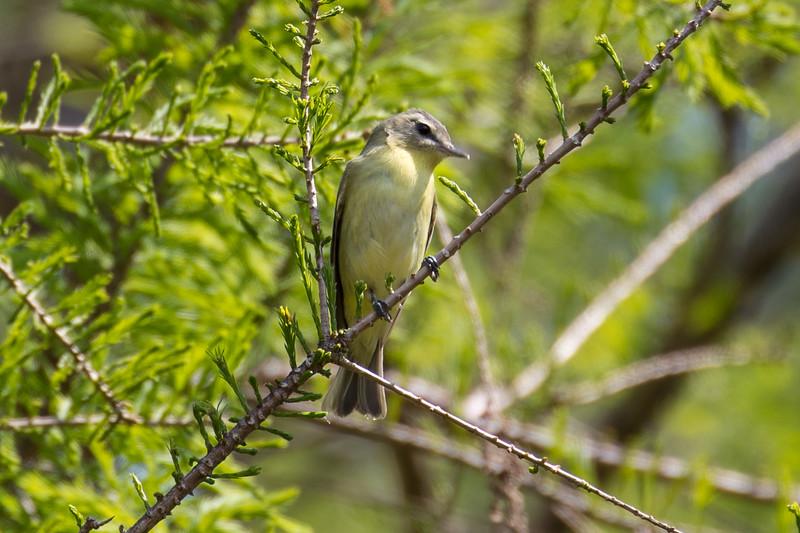 Tennessee warbler, Vermivora peregrina
