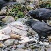 Common Raven, Corvus corax