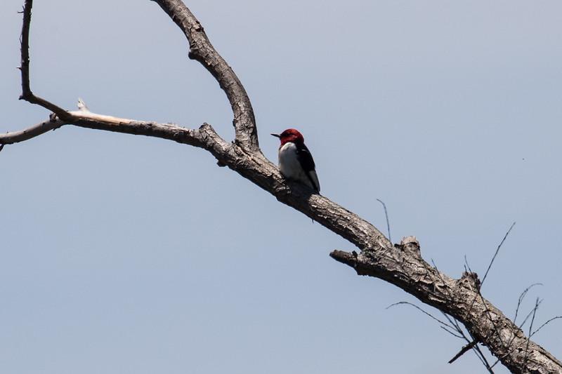 Red-headed woodpecker, Melanerpes erythrocephalus