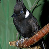 Crested Jay