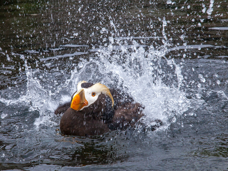 Tufted Puffin, Fratercula cirrhata