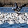 Snow goose, Chen caerulescens, blue goose