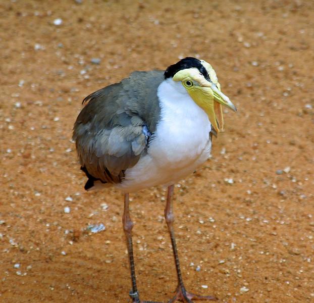 Masked Plover, Vanellus miles