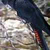 Banksian cockatoo,  Calyptorhynchus magnificus